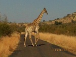 Giraffe crossing during safari