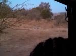 3 Lions eating a giraffe 40 feet away from the truck